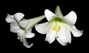 Easter Photographs Posters - Pure White Easter Lilies Poster by Rose Santuci-Sofranko