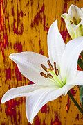 Stems Prints - Pure White Lily Print by Garry Gay