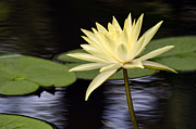 Water Lily Leaves Framed Prints - Pure Yellow Water Lily Framed Print by Linda Phelps