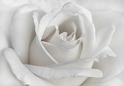 Ivory Rose Posters - Purity of a White Rose Flower Poster by Jennie Marie Schell