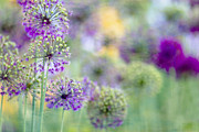 Purple Metal Prints - Purple Allium Metal Print by Rebecca Cozart