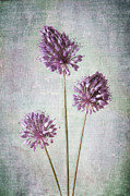 Dolly Genannt - Purple Allium Trio