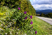 Asters Metal Prints - Purple along the Road Metal Print by Thomas R Fletcher