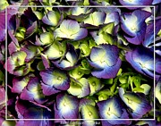 Artists4god Prints - Purple and ivory hydrangeas Print by Rose Santuci-Sofranko