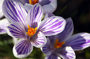 Purple Petals Prints - Purple and White Crocus Print by Sharon  Talson