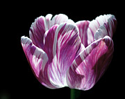 Close Up Artwork Posters - Purple and White Marbled Tulip Poster by Rona Black