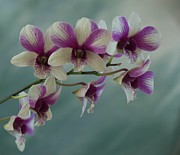 Bonita Hensley - Purple and White Orchid...