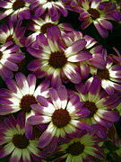Easter Flowers Posters - PURPLE and WHITE PETALS Poster by Daniel Hagerman