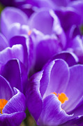 Winter Flower Photos - Purple by Anne Gilbert