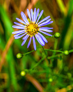 James Dudrow - Purple Aster