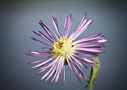 Aster  Photo Framed Prints - Purple Aster Framed Print by Patrick M Lynch