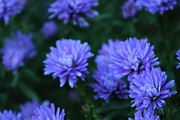 Aster  Originals - Purple Aster by Rhonda Humphreys