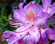 Flower Design Posters - Purple Azalea Poster by Rona Black