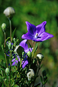 Balloon Flower Photo Metal Prints - Purple Balloon Flower Metal Print by Anonymous