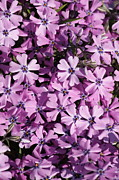 Creeping Phlox Framed Prints - Purple Beauty Phlox Framed Print by Carol Groenen