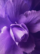 Flower Gardens Metal Prints - Purple Begonia Flower Metal Print by Jennie Marie Schell