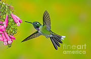 Purple-bibbed Whitetip Hummingbird Print by Anthony Mercieca