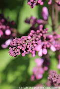 Aperture Photo Originals - Purple Buds by Joel Fernandes