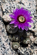 Red Cactus Flower Prints - Purple Cactus Flower Print by Greg Reed