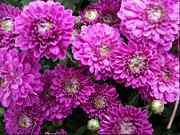 Spirit Baker - Purple Chrysanthemums...
