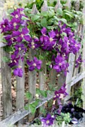 Netting Photos - Purple Clematis by Marcia Lee Jones