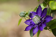 Purple Flower Prints - Purple Clematis Print by Rebecca Cozart