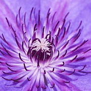 Tendrils Photos - Purple Clematis by Richard J Thompson