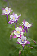 Columbine Framed Prints - Purple Columbine Framed Print by Rebecca Cozart