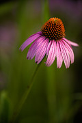 Daniel Photography Art - Purple Cone Flower Portrait by  Onyonet  Photo Studios