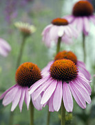 Beauty Art - Purple Coneflower by Juli Scalzi