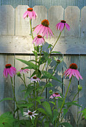 Purple Coneflower Print by Steve Augustin