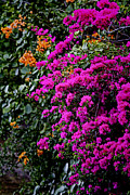 Bougainvilleas Prints - Purple Contrast Print by Douglas Barnard