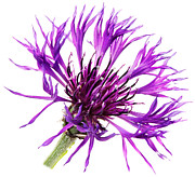 Centaurea Montana Photo Posters - Purple Cornflower Poster by Jo Ann Snover