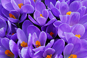 Crocus Flowers Posters - Purple crocus Poster by Elena Elisseeva