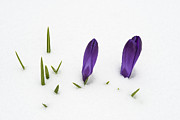 Anticipation Photos - Purple crocus in the white snow - spring meets winter by Matthias Hauser
