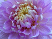 Lingfai Leung - Purple Dahlia with touch...