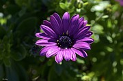 Alex King - Purple Daisy