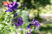 Petunia Photos - Purple Delight. Petunia Bloom by Jenny Rainbow