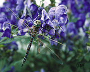Stan Kwong - Purple Dragonfly