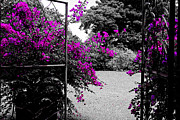 Bougainvilleas Prints - Purple Entrance Print by Douglas Barnard