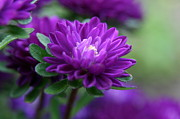 Flower Photography Prints - Purple Escape  Print by Neal  Eslinger