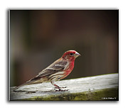 Brian Wallace - House Finch