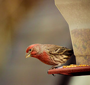 Feeder Greeting Cards Posters - Purple Finch Poster by Connie Dye
