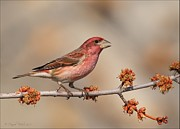 Wildlife Pyrography Posters - Purple Finch Poster by Daniel Behm