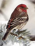 Migratory Bird Painting Framed Prints - Purple Finch in Snow Framed Print by Shere Crossman