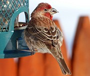 Elaine Franklin - Purple Finch - NH State...