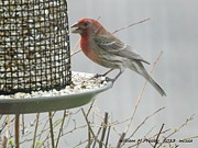 William Presley - Purple Finch