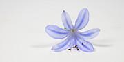 Purple Flower Print by Cecil Fuselier