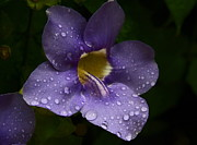 Petals With Droplets Posters - Purple Flower in the Rain Poster by Greg Thiemeyer