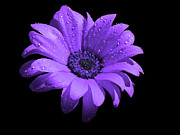 Purple Flower With Rain Print by Bruce Nutting
